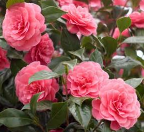 Pink Camellia flowers tree photos.PNG