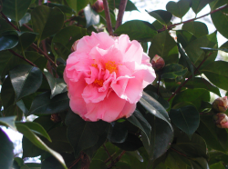 Pink camellia flowers_also known as tea flowers.PNG