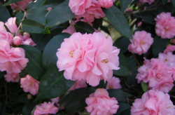 Pretty Japanese camellia trees photos with flowers blooming fully.PNG