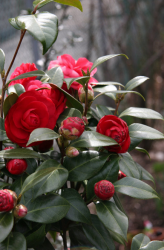 Red Camellia bush with cute small red camellia flower buds.PNG