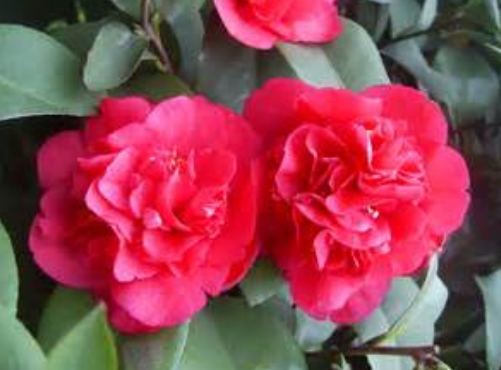 Red Camellia tree picture.PNG