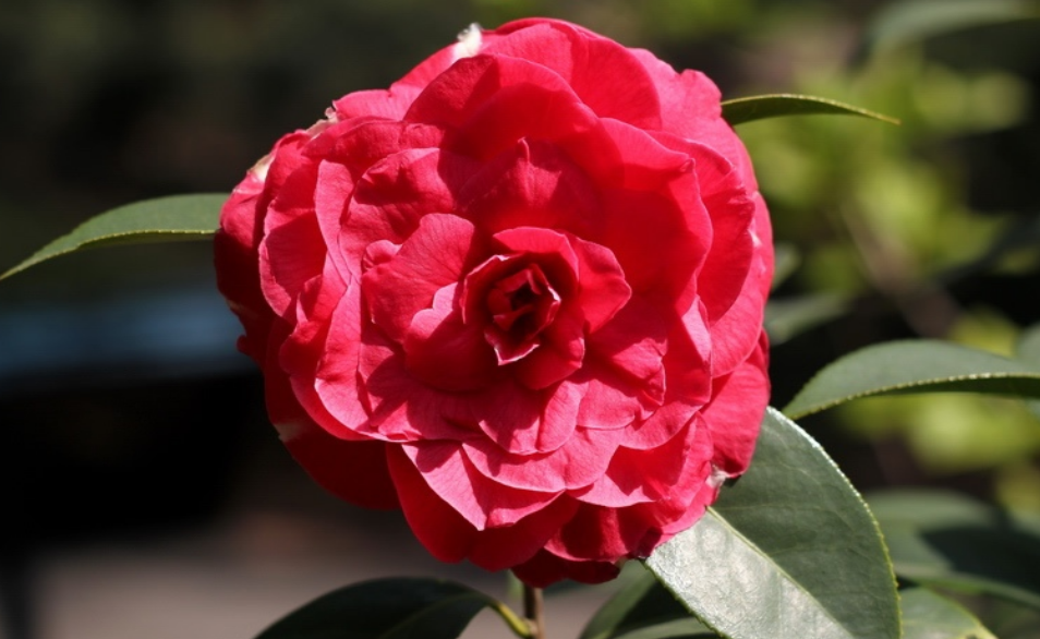 Red Japanese Camellia flowers images.PNG