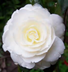 White Camellia flower pictures_White Japanese flowers photo.PNG