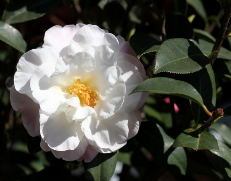 White Camellia flowers_white Japanese flowers tree photo.PNG
