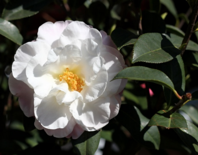 White camellia flowerswhite japanese flowers tree photog mightylinksfo
