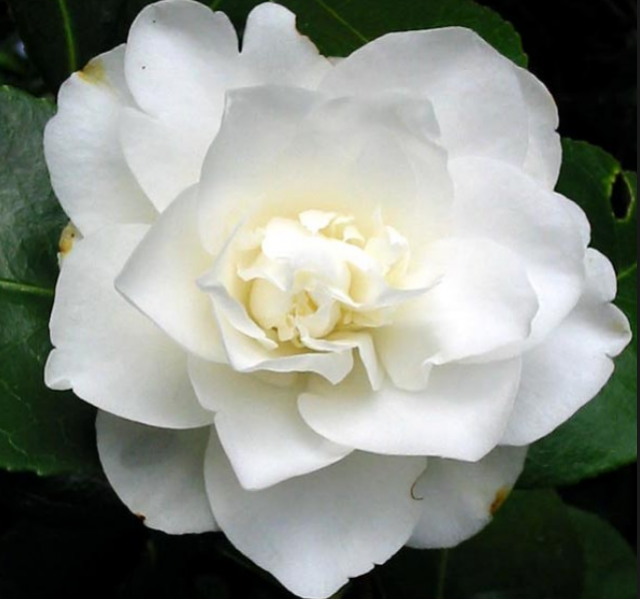 White flowers picture of white Camellia_White Japanese flowers.PNG
