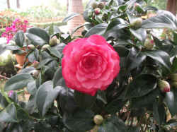 Asian flowers bush pictures with Camellia flowers in pink.PNG
