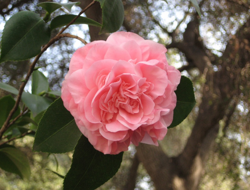 Asian flowers pictures of Camellia flowers.PNG