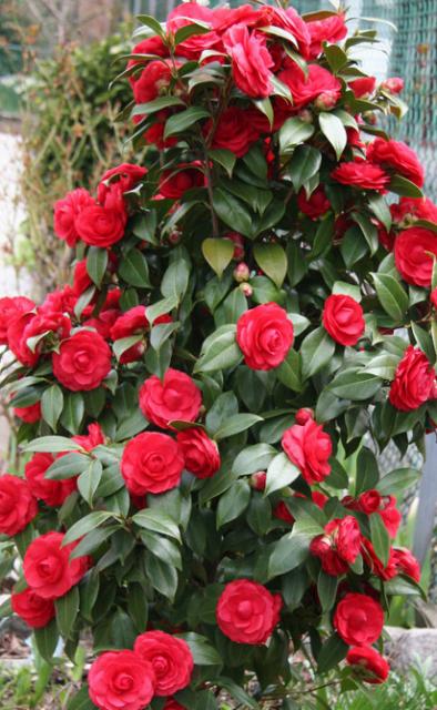 Camellia bush with red camellia flowers png - Camelia planta ...
