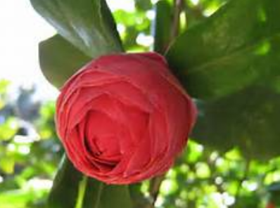 Camellia flower bud in red.PNG