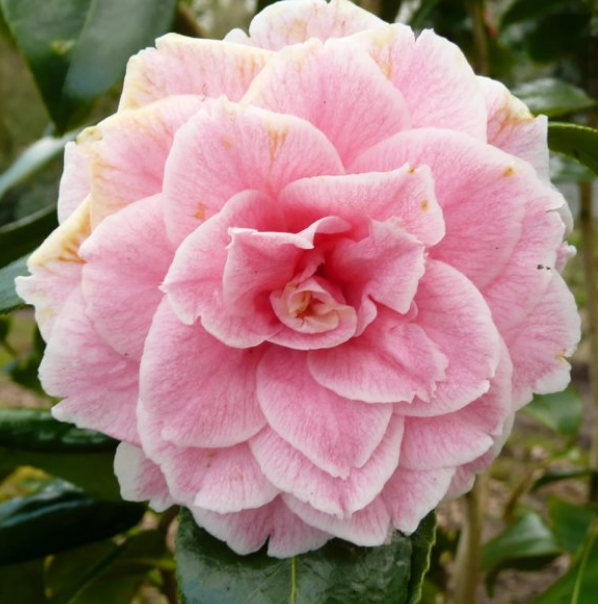 Camellia flowers in light pink.PNG