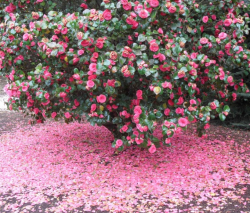 Camellia Japanese bush with full blooming with tons of camellia petals on the ground.PNG