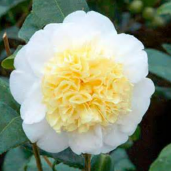 Camellia Japonica plant with yellow Camellia flowers with white color.PNG