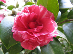 Camellia red flowers photos.PNG