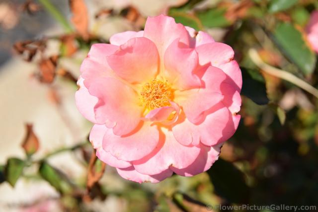 Camellia Light Pink Flower with Many Petals and Bunched Up Stamen from Kusadasi Turkey.jpg