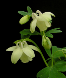 Small Columbine flowers in cream with cute green leaves.PNG