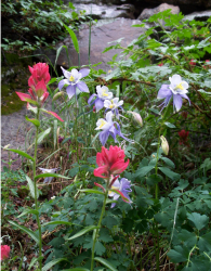 Spring flowers with columbine flowers in purple and white.PNG