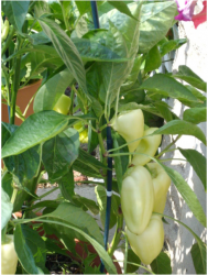 Golden Bell Peppers from new vegetable garden.PNG