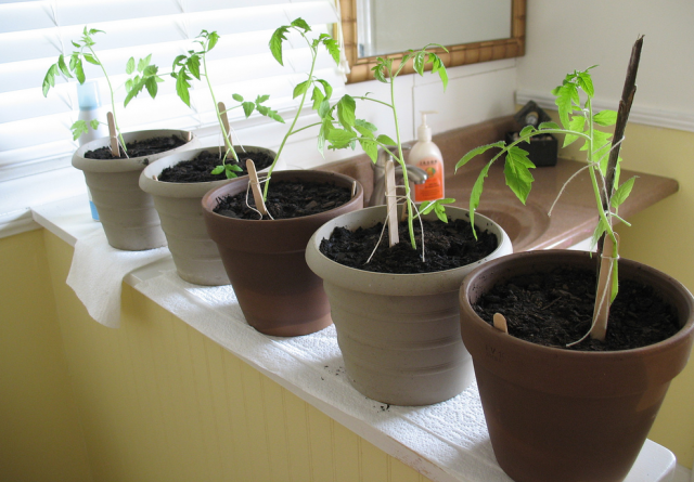Indoor vegetable gardening_garden vegetable seeds.