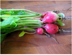 organic radishes fresh from the garden.PNG