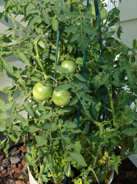 Photo of tomato gardening.PNG