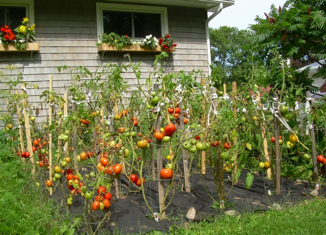 Why Homegrown Tomatoes Are Sweeter