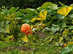 plant vegetable garden_pumpkin garden.PNG