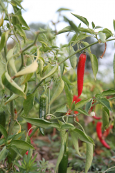 Red Hot Chili Plant pictures.PNG