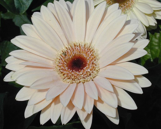 light peach Gerbera Daisy.jpg