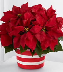 Poinsettia Planter Christmas flowers.PNG