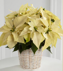 Picture of  White Poinsettia Basket for Christmas.PNG
