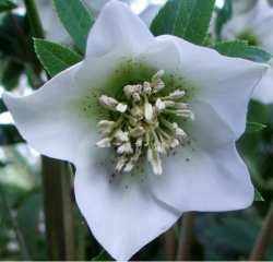 Star shape flower_white hellebore winter rose.PNG