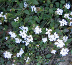 Picture of pretty white small flowers.PNG
