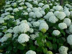 Picture of white Hydrangea.PNG
