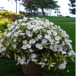 Pot white flowers pictures.PNG
