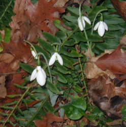 White Autumn Snowdrops flowers.PNG