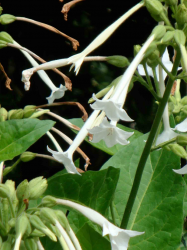 White bell flowers images.PNG