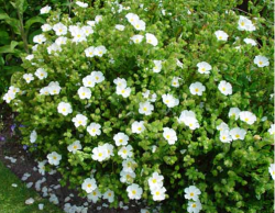 White Cistus flowers picture.PNG