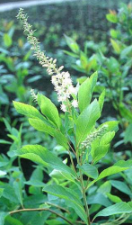 White Clethra alnifolia flowers photos.PNG