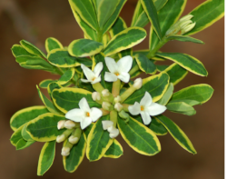 White daphne shrubs pictures.PNG