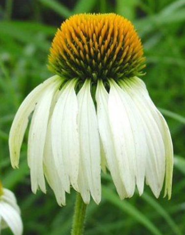 White Echinacea purpurea flower images.PNG