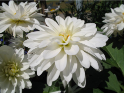 White garden flowers photos.PNG