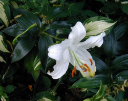 White Lilium flower images.PNG