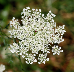 White Queen Annes lace flowers image.PNG