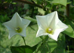 White star shaped flowers pictures.PNG