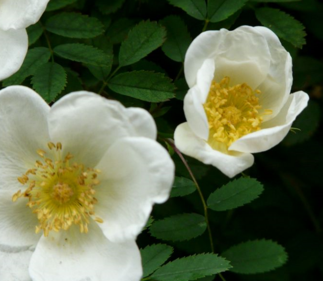 Yellow center white flowers photo.PNG