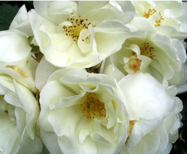 Close up picture of creamy white flower carpet flowers.PNG