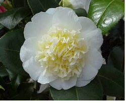 Creamy white Camellia x williamsii flowers images.PNG