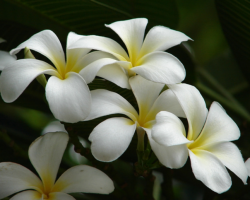 Creamy white Frangipani flowers pictures.PNG