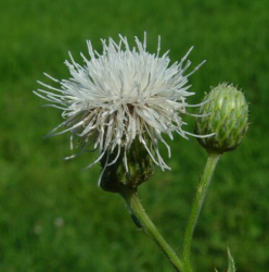 Image of White Cirsium arvense with bud.PNG
